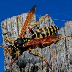 Wespennestentfernung und Schädlingsbekämpfung
